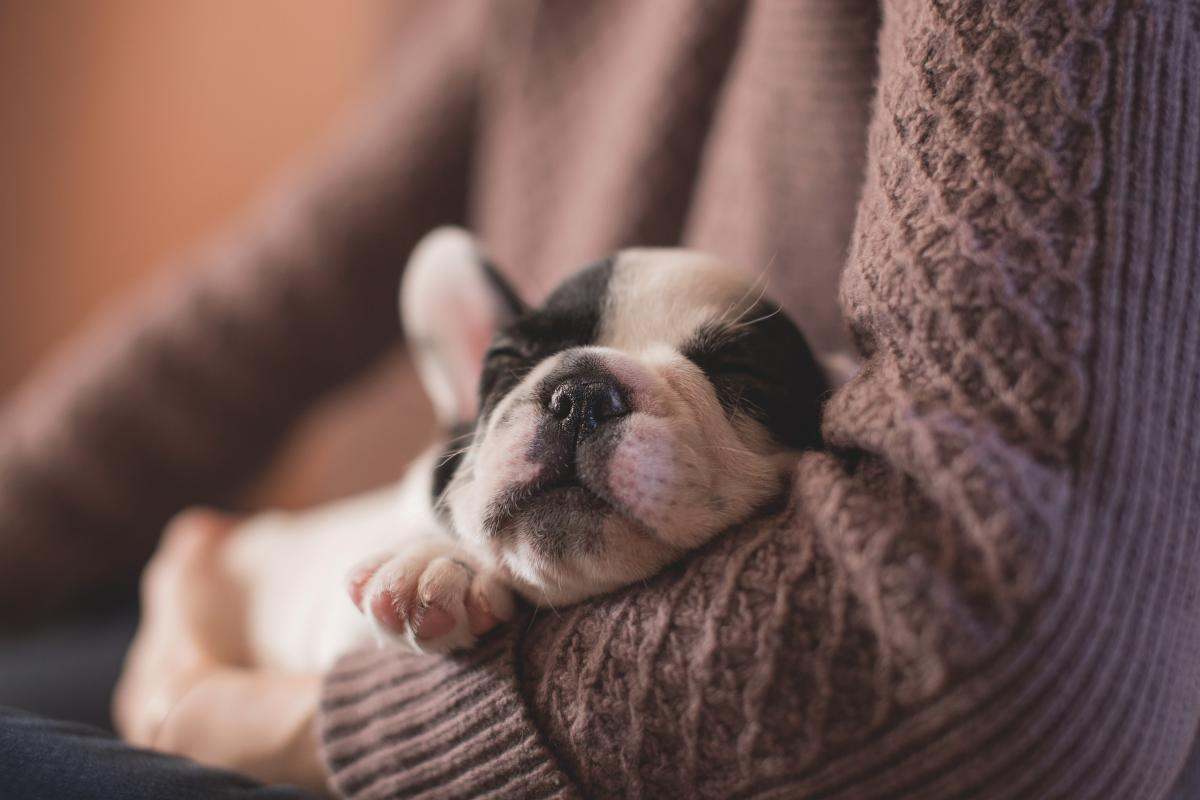 french bulldog puppy in arms