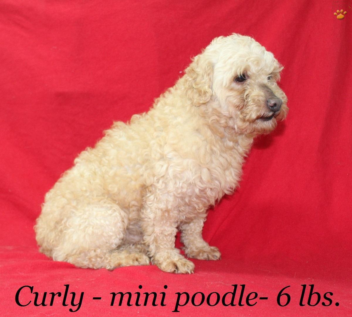 Jack Mini Aussiedoodle Puppy For Sale In Alpha Ky Lancaster