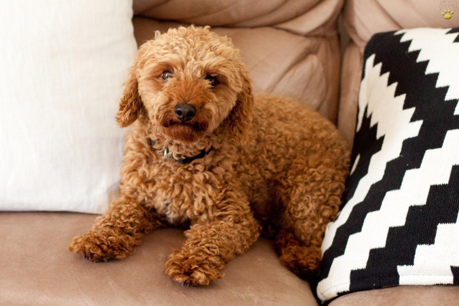 Lilly - Bichpoo Puppy for Sale in Denver, PA | Lancaster
