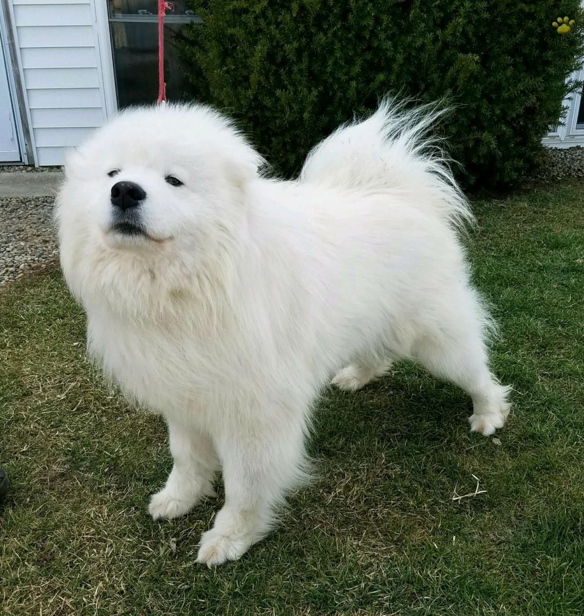 Samoyed For Sale >> Benson Samoyed Puppy For Sale In Grabill In Lancaster Puppies