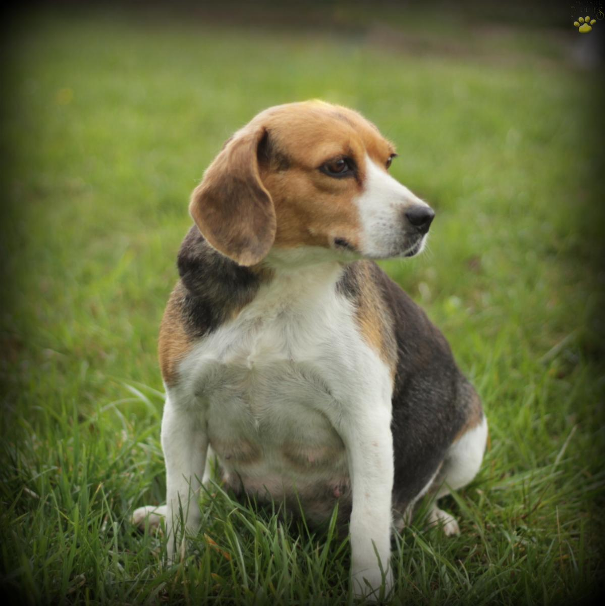 Voro Beagle Puppy For Sale In Parksburg Pa Lancaster Puppies
