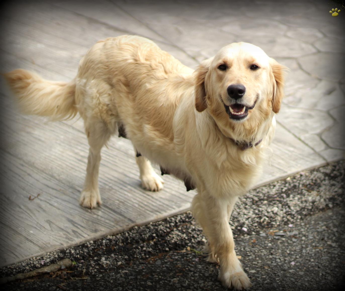 Monroe English Creamamerican Golden Retriever Puppy For Sale In