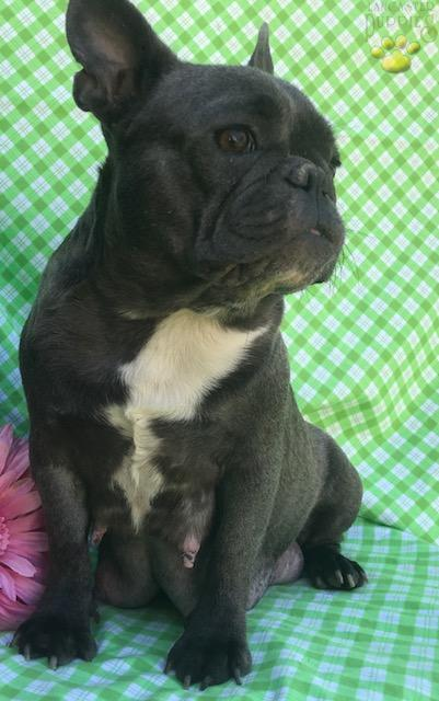 Gizmo Blue French Bulldog Puppy For Sale In Peach Bottom Pa
