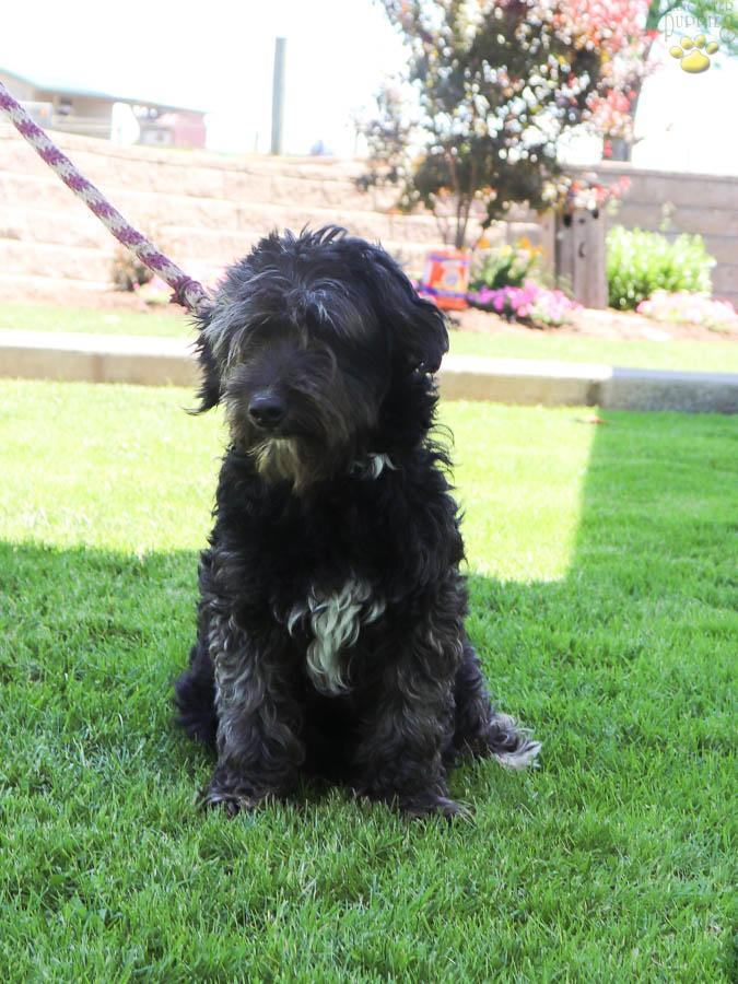 Lancelot F1b Mini Bernedoodle Puppy For Sale In