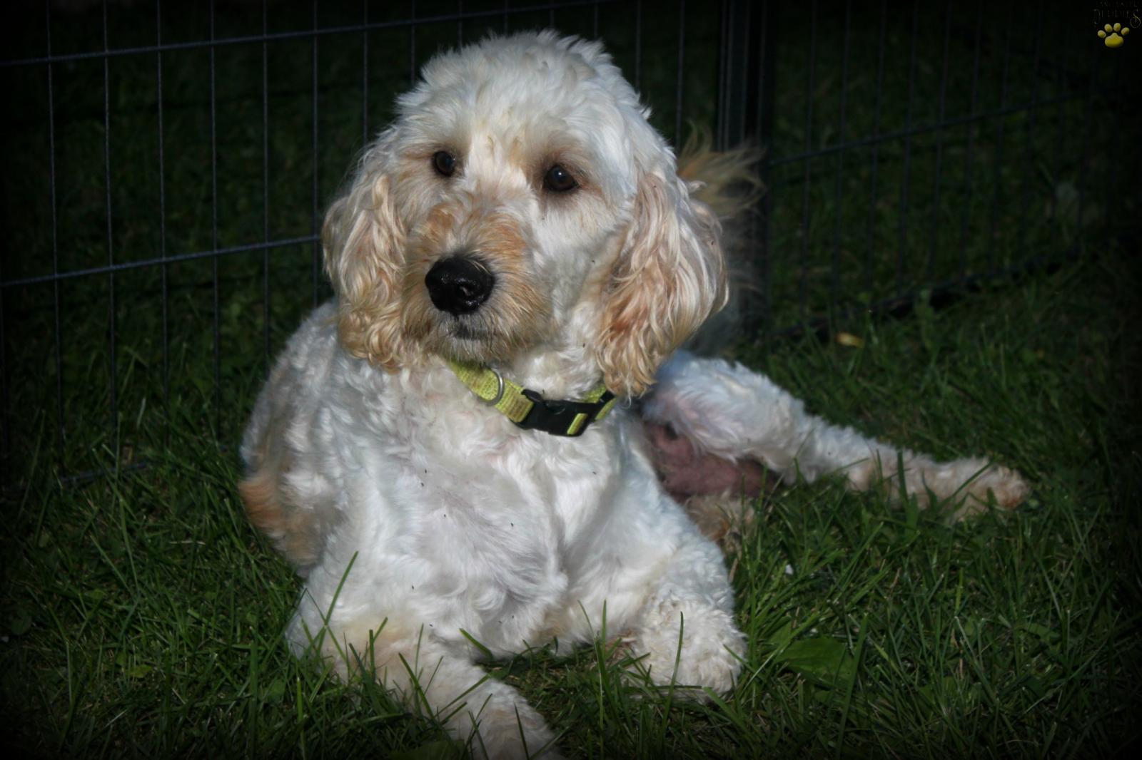 Mini Chessa F1b - Mini Goldendoodle Puppy for Sale in Spring