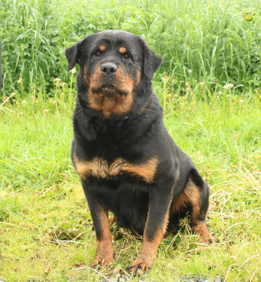 Henry - Rottweiler Puppy for Sale in Bird In Hand, PA