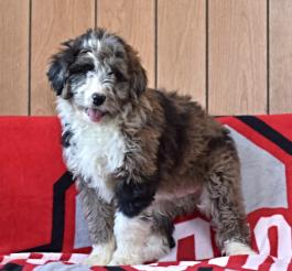 Aussiedoodle Puppies for Sale | Lancaster Puppies