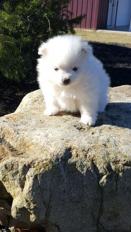 DIXIE- Pom/Terrier puppy for sale in Middleburg PA
