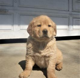 Sold Golden Retriever Mix Puppies Lancaster Puppies