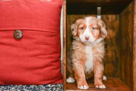 Kate - Australian Shepherd Mix for sale in New Bedford OH