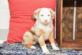 Kathy - Australian Shepherd Mix for sale in New Bedford OH