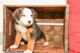 Keith - Australian Shepherd Mix for sale in New Bedford OH