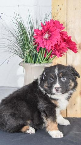 Allison - Australian Shepherd for sale in Millersburg, OH