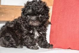 Bella - Adorable Teddy Bear for Sale in Apple Creek, OH