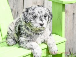 Daisy - Stunning Blue Merle Mini Labradoodle for sale in Apple Creek, OH