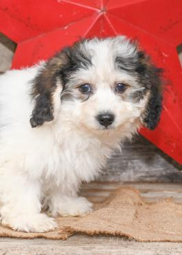 Ben - Havanese puppy for sale in Millersburg, Ohio