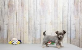 Chihuahua Puppies for Sale | Lancaster Puppies