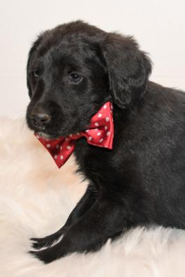 Tigger - Labradoodle puppy for sale in baltic ohio