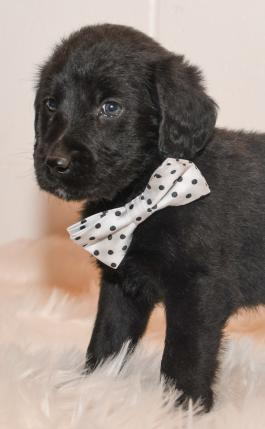 Tucker - Labradoodle puppy for sale in baltic ohio