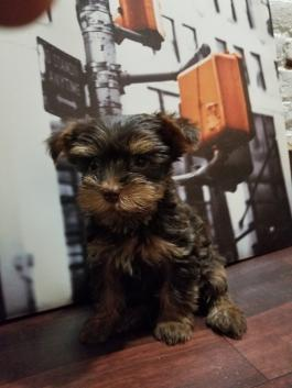 Yorkie Puppies for Sale | Lancaster Puppies