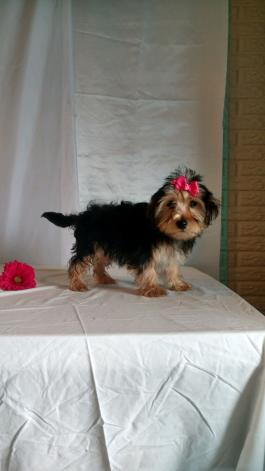 Morkie Puppies for Sale   Lancaster Puppies