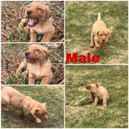 Labrador Retriever - Red Fox Puppies for Sale | Lancaster Puppies