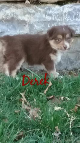 Mini Australian Shepherd Puppies for Sale | Lancaster