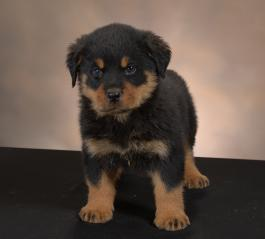 Rottweiler Puppies For Sale Lancaster Puppies