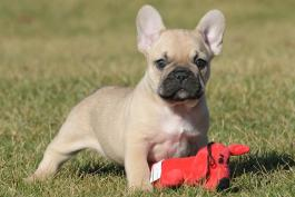 French Bulldog Puppies For Sale In Pa Lancaster Puppies