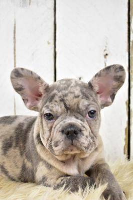 French Bulldog Puppies for Sale in OH | Lancaster Puppies
