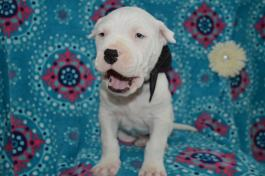 Dogo Argentino Puppies for Sale | Lancaster Puppies