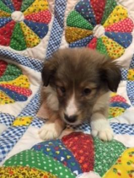 AKC SHELTIE MALE