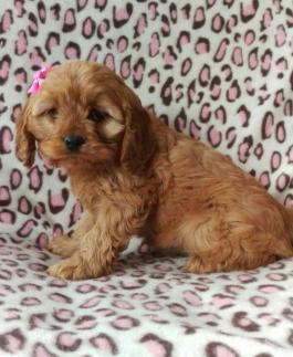 Cavapoo Puppies for Sale   Lancaster Puppies