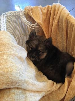 Pomsky Puppies for Sale in IN   Lancaster Puppies