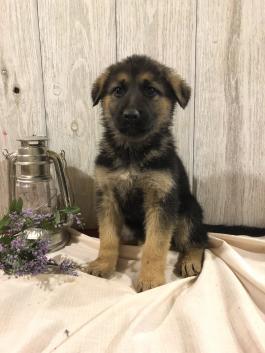 German Shepherd Puppies For Sale In Mi Lancaster Puppies