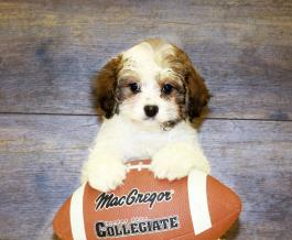 Cavapoo Puppies for Sale | Lancaster Puppies