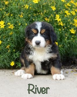 Guiness Bernese Mountain Dog Mini Puppy For Sale In Fresno Oh