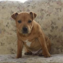 Staffordshire Bull Terrier Puppies For Sale Lancaster Puppies