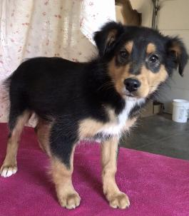 English Shepherd Puppies For Sale In Oh Lancaster Puppies