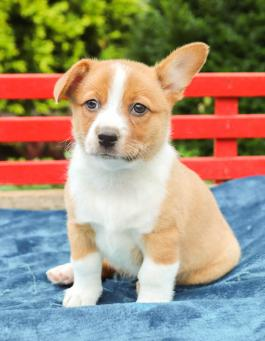 Boston Terrier Corgi Mix Puppies for Sale   Lancaster