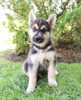 Ambassador German Shepherdhusky Puppy For Sale In Applecreek Oh