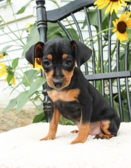 Max Miniature Pinscher Puppy For Sale In Grabill In Lancaster