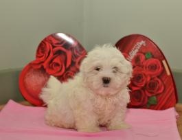 Malshi Puppies for Sale | Lancaster Puppies