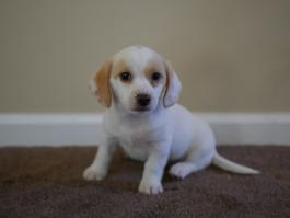 star-jack-russell-beagle-puppy