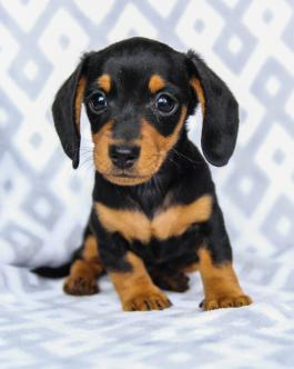 Dachshund Puppies For Sale Lancaster Puppies Happyvalentinesday2016i