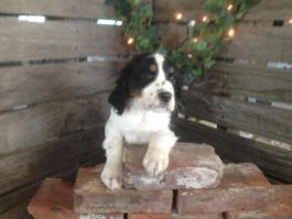 English Springer Spaniel Puppies for Sale | Lancaster