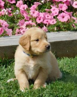 Golden Shepherd Female Puppy