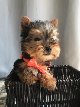YORKIE PUPPY OHIO MALE MINI TEACUP