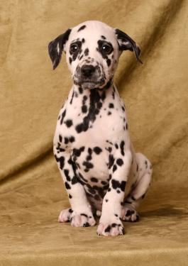 Bella Dalmatian Puppy For Sale In Fredericksburg Oh Lancaster