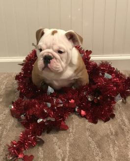 English Bulldog Puppies for Sale   Lancaster Puppies